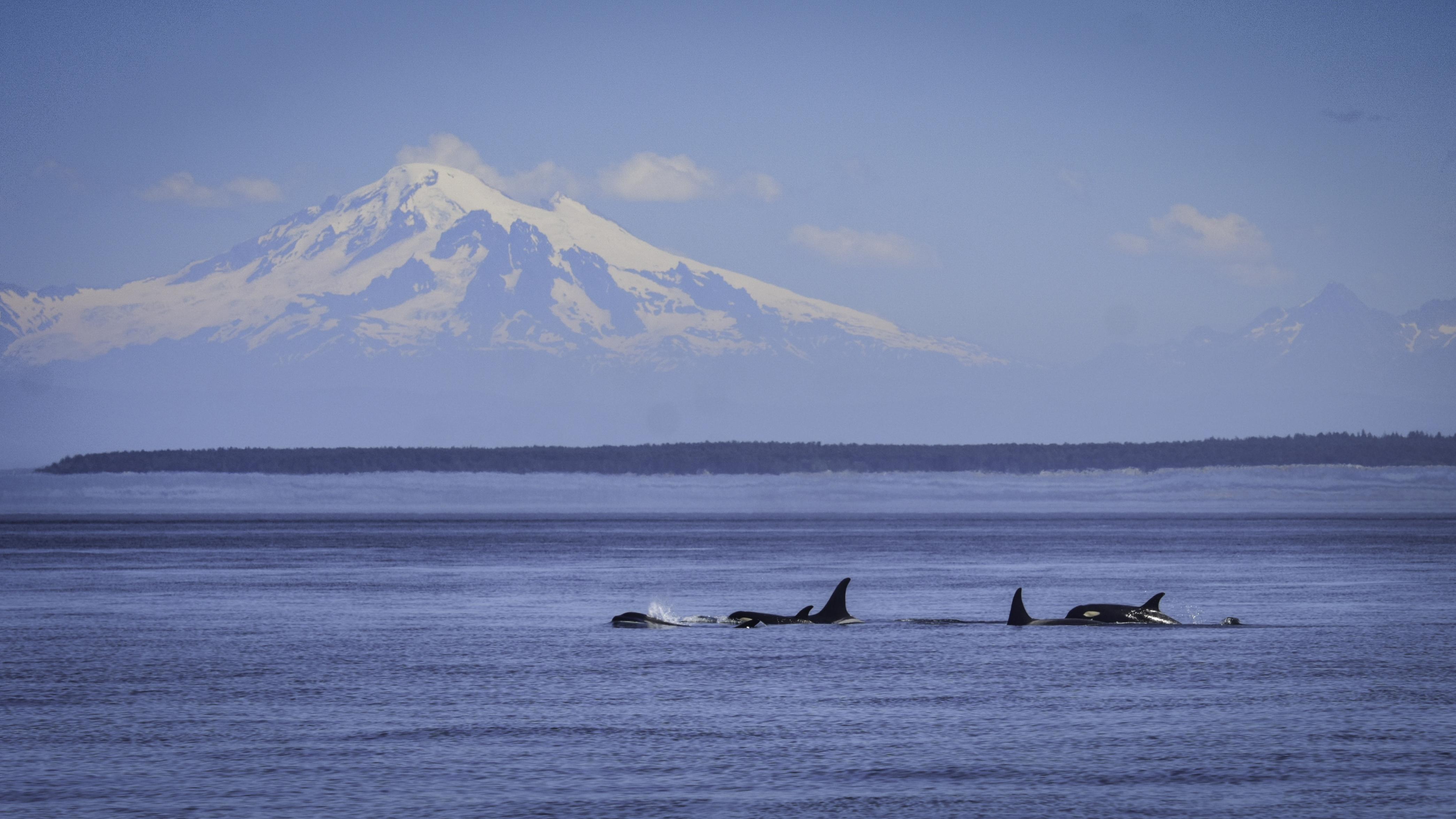 new images show healthy active pnw killer whale calves king5 com