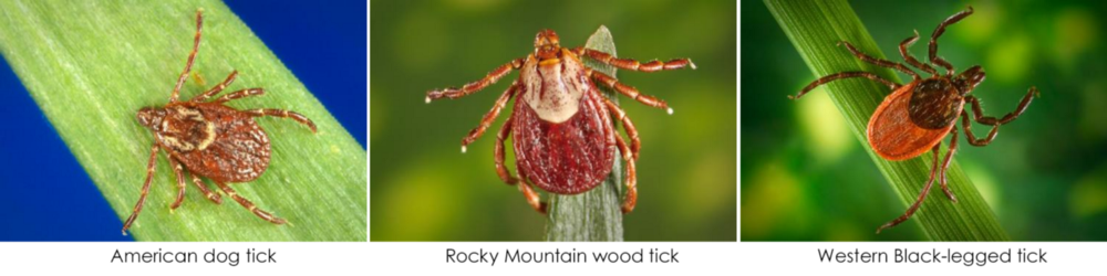Ticks More Prevalent In Washington This Year State Says King5 Com